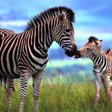 Over de strepen van Zebra*