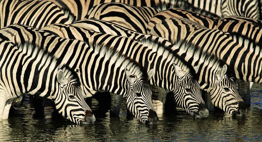 kudde zebra s drinken