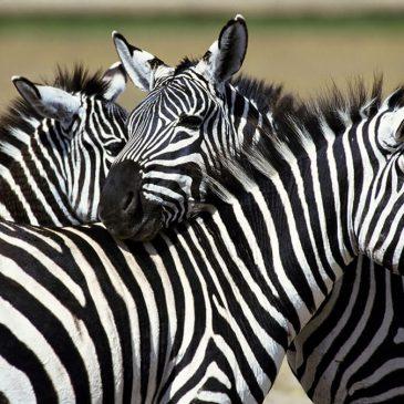 Vraag van de week over zebra